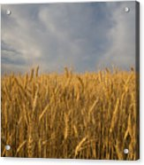 Early Morning Landscape Of Wheat In Palouse Acrylic Print