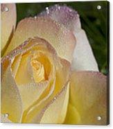 Early Morning Peace Rose Acrylic Print