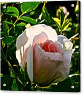 Early Rose Acrylic Print