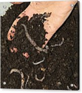 Earthworms In Soil Acrylic Print by Sheila Terry