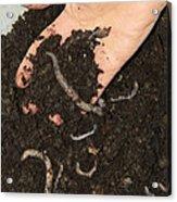 Earthworms In Soil Acrylic Print