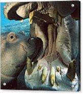 East African River Hippopotamus Acrylic Print