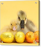 Easter Duckling And Gosling Acrylic Print