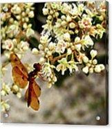 Eastern Amberwing On Wild Buckwheat Acrylic Print