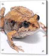 Eastern Banjo Frog Isolated On White Acrylic Print by Brooke Whatnall
