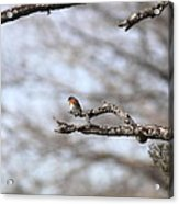 Eastern Bluebird - Old And Alive Acrylic Print