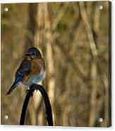 Eastern Bluebird 20 Acrylic Print