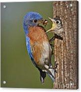 Eastern Bluebird Feeding Chick Acrylic Print