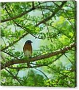 Eastern Bluebird In Bald Cypress Tree Acrylic Print