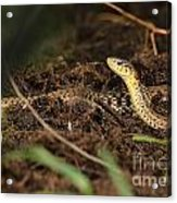 Eastern Garter Snake - Checkered Coloration Acrylic Print
