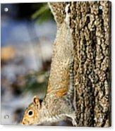 Eastern Gray Squirrel Sciurus Acrylic Print