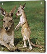Eastern Grey Kangaroo And Joey Acrylic Print