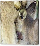 Eastern Grey Kangaroo Joey Acrylic Print by Tony Camacho