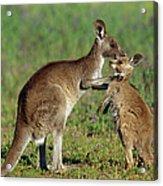 Eastern Grey Kangaroo Macropus Acrylic Print