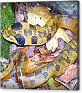 Eastern Hognose Snake Acrylic Print by Kathy  White