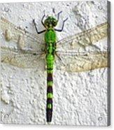 Eastern Pondhawk Dragonfly Acrylic Print