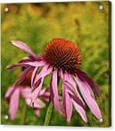Eastern Purple Coneflower Acrylic Print