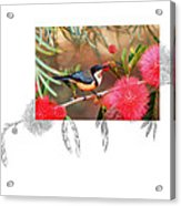 Eastern Spinebill Acrylic Print