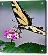 Eastern Tiger Swallowtail 5 Acrylic Print