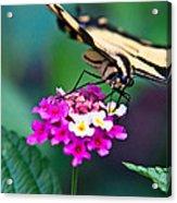 Eastern Tiger Swallowtail 8 Acrylic Print