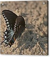 Eastern Tiger Swallowtail 8526 3205 Acrylic Print