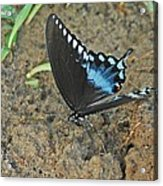 Eastern Tiger Swallowtail 8537 3215 Acrylic Print