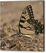 Eastern Tiger Swallowtail 8542 3219 Acrylic Print