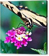 Eastern Tiger Swallowtail 9 Acrylic Print