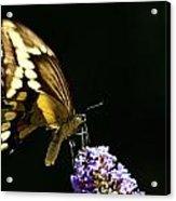 Eastern Tiger Swallowtail Butterfly On Butterfly Bush Acrylic Print