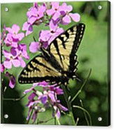 Canadian Tiger Swallowtail On Phlox Acrylic Print