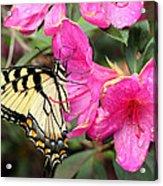 Eastern Tiger Swallowtail On Azalea Acrylic Print