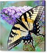 Eastern Tiger Swallowtail On Butterfly Bush Acrylic Print