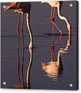 Eating Flamingos Acrylic Print