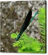 Ebony Jewelwing Male Acrylic Print