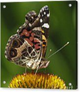 Echinacea Butterfly Meal Acrylic Print by Darleen Stry