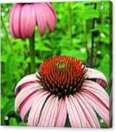 Echinacea Duo Acrylic Print