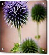 Echinops Ein France Acrylic Print