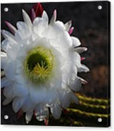 Echinopsis Candicans Acrylic Print