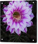 Echinopsis Acrylic Print
