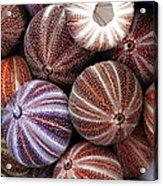 Edible Sea Urchin Souvenirs Acrylic Print