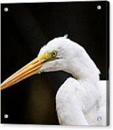 Egret - Old Whitey Acrylic Print