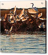 Egret And Ibis Party Acrylic Print