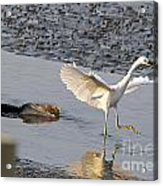 Egret Being Chased By Alligator Acrylic Print