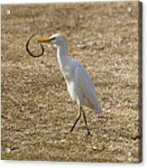 Egret Captures Snake Acrylic Print