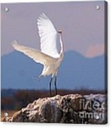 Egret On His Rock Acrylic Print