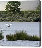 Egret Over Water Acrylic Print