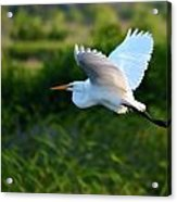 Egret Passing By  Acrylic Print