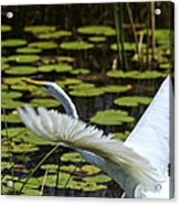 Egret Take Off Acrylic Print