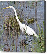 Egret Walking Acrylic Print