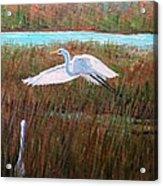 Egret Watching Acrylic Print